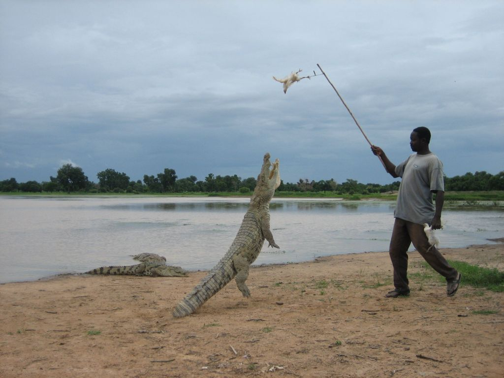 Crocodile feeding in Burkina Faso, 2006.